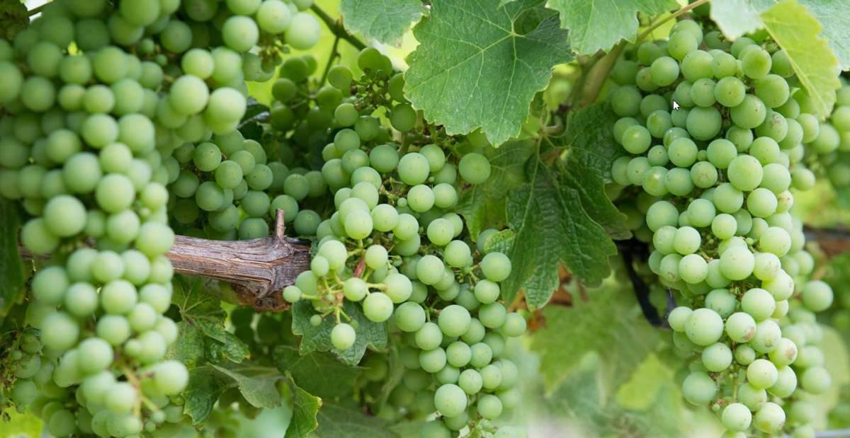 ¿Qué vinos produce la uva chardonnay?